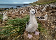 On a recent National Geographic Expedition, Olympus Visionary Jay Dickman captured this magnificent shot of a nesting black-browed albatross chick with the OM-D Mark II and M. National Geographic Expeditions, Nests, Olympus, Jay, Animals, Black, Animais, Animales, Black People