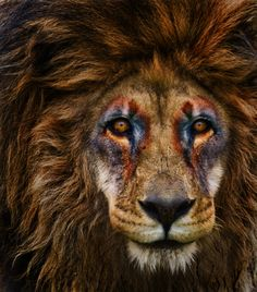Don't know if this is photoshopped or if some brave soul painted this lion's face. Either way it's breathtaking.