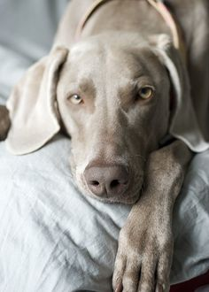 #dog #pet #animals #braco #weimat