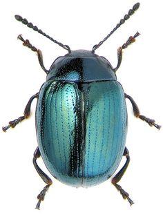 metallic beetle                                                       …