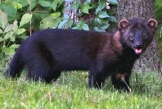 Wiccan Moonsong: The Fisher Cat He's cute right? How many of you have fisher… Fisher Cat Pictures, Fisher Animal, Horned Owl, Black Bear, Otters, Pet Birds, Mammals, Cute Animals, Wild Animals