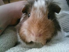 Sophie the #guineapig