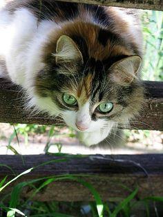"pagewoman:  "" source:pinterest.com  Cats never strike a pose that isn't photogenic. ~Lillian Jackson Braun  """