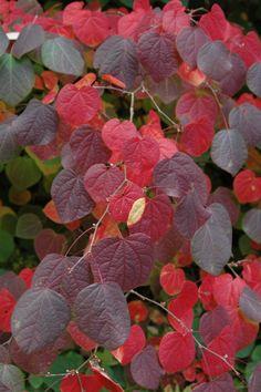 Disanthus cercidifolius outstanding fall color!... a hazel relative.