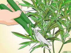 3 manières de faire pousser du laurier rose - wikiHow