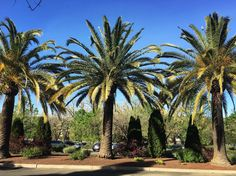 """74 Likes, 13 Comments - Iris of Style (@herikaaktuglu) on Instagram: """"Clear blue skies and palm trees🌴#napa #travel"""""""