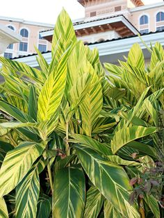 xl Golden Ginger Alpinia Zerumbet Variegata - All About Gardens Texas Landscaping, Landscaping Around Trees, Tropical Landscaping, Tropical Garden, Tropical Flowers, Tropical Plants, Large Plants, Cool Plants, Backyard Plants
