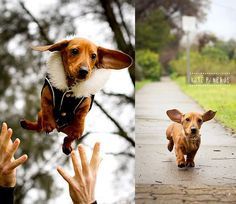 Super Sweet Doxie!