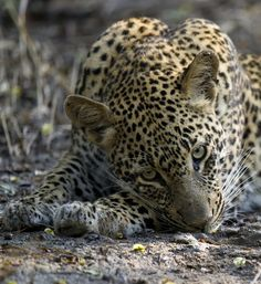 Leopard by Licinia Machado on 500px