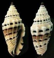 Shell Catalogue - Family COSTELLARIIDAE
