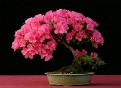 22 harika 'bonsai' türü   TRT Haber Foto Galeri
