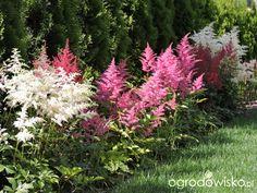Zielonej ogrodniczki marzenie o zielonym ogrodzie - strona 943 - Forum ogrodnicze - Ogrodowisko