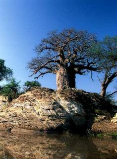 """...a mighty Baobab (Adansonia digitata). These trees are so striking and shrouded in myth and legend ...The old tree grows on a rocky outcrop situated in the Mapungubwe National Park, guarding the sacred spot where the great Sashe and Limpopo rivers meet, and overlooking the convergence of the South African, Botswana and Zimbabwean borders."" Mud Hut, Baobab Tree, Growing Tree, World Heritage Sites, Rivers, Pagan, Places Ive Been, Countries, National Parks"