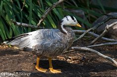 Bar-headed Goose, Anser indicus | Flickr - Photo Sharing!