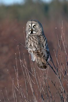 Great Grey Owl via:The Owl that calls upon the Night Stunning!