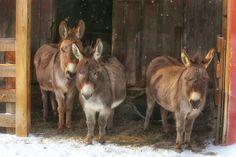 The Wisdom Of Donkeys.   Simon, Lulu and Fanny