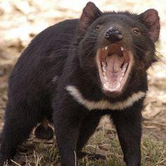 See a tasmanian devil in the wild