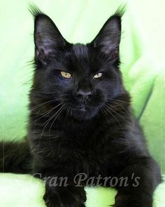 GranPatron's Hippi Mainecoon cattery *GranPatron* WhatsApp Viber www. Big Cats, Cats And Kittens, Fluffy Black Cat, White Cats, Black Cats, Wizard Cat, Siberian Forest Cat, Witch Cat, Maine Coon Kittens