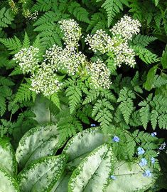 Love this combination   Myrrhis odorata (Sweet Cicily) and pulmonaria ... Sweet Cicily also likes dry shade