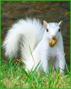 *White Squirrels can be found at the University of Louisville....yep...used to see them all the time
