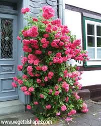 Superb Bildergebnis f r climbing rose in container