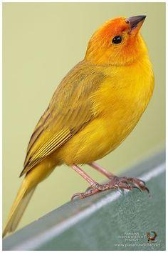 Saffron Finch / Pinzón Azafranado (Sicalis flaveola) --- Visit our shop here --- Cute Birds, Pretty Birds, Small Birds, Colorful Birds, Little Birds, Most Beautiful Birds, Animals Beautiful, Canario Da Terra, Kinds Of Birds