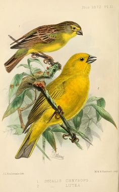 ser. 3, v. 2 (1872) - Ibis. - Biodiversity Heritage Library