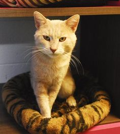Tarzan is a male orange DSH who comes with a special adoption fee because he is FIV+. He is a snuggler who loves sitting on your lap. He is available for adoption at One of a Kind Pets, Akron,Ohio