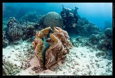 Giant Clam (Tridacna gigas).  Power to the Bivalve!