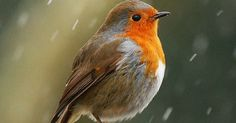 Robins, Red and Birds on Pinterest