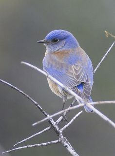 beautiful icy blue bird