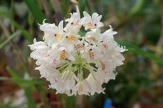 Inflorescence of Neobenthamia gracilis