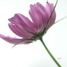 10:16 #photo #photography #picture #flowers #flowerslovers #flowerzdelight #great_flowers  #flowersofinstagram #flowerstalking #softfocus #flowersandmacro #symply_flowers #macrophotography #blooming_petals #tv_flowers #ig_japan #ig_artistry #loves_united_flowers #petal_perfection #tv_foggy #macro #macroclique #tv_depthoffield #panasonic #lumixg6 #sigma #turkobjektif_flower #tv_closeup #japan #sapporo