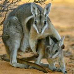 """Bridled Nail-tail Wallaby (Onychogalea fraenata) and there are only around 500 individuals left in the entire world. The small wallaby is named for its three distinguishing characteristics; a white """"bridle"""" line that runs down from the back of the neck around the shoulders, and the horny spur on the end of its tail."""