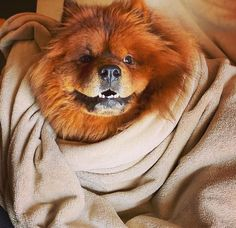 14 Cheerful Chow Chow Pictures Proving That Coronavirus Quarantine Can Be Spent With Positive Animals And Pets, Cute Animals, Chow Chow Dogs, Good Mood, Good Movies, Doggies, Cheer, Positivity, Canning