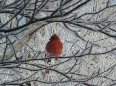A cardinal in an ice storm - Photography
