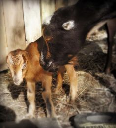 Marblemount Homestead: Goat triplets! Why it is a good idea to have seven midwifes attend a goat birth...