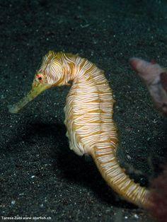 Zebra-Seahorse (Hippocampus zebra)