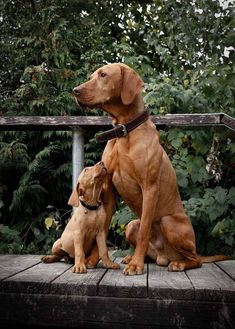 Proud Vizsla dad Hank and his little daughter . Proud Vizsla Daddy Hank and his little daughter Dasy let& hope Ruby ♡ so Pyro this much! Beautiful Dogs, Animals Beautiful, Cute Animals, Vizsla Puppies, Dogs And Puppies, Doggies, Vizsla Dog, I Love Dogs, Cute Dogs
