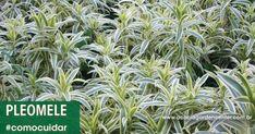 Pleomele – como cuidar | Blog Jardinices