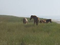 Images from Chincoteague NWR. Credit: Photos courtesy of John White and USFWS