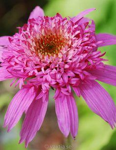 Echinacea purpurea 'Pink Double Delight' - Perenner E - F - Perenner