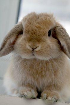 9658260cbd6 Cute gray lop eared bunny Conejo Mini Lop