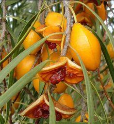 0e93a6c6a Pittosporum Angustifolium - Gumby Gumby or Gumbi Gumbi Tree