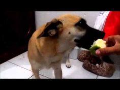 Cachorro comendo maçã