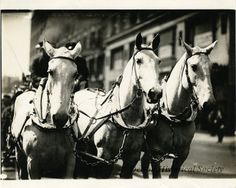 A team of three Detroit Fire Department horses fully bridled and pulling an engine. 1922. Detroit Historical Society.
