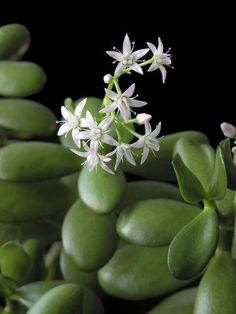 Crassula ovata: planter et entretenir ses crassulas