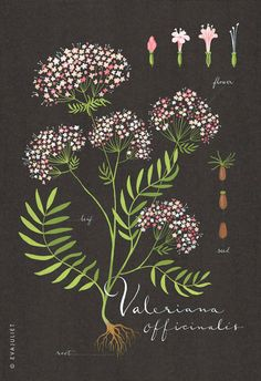 Inspired by the old botanical illustrations, here is my version of the Valerian illustrated on a beautiful black background. The colors of the flowers
