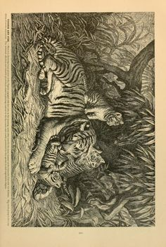 Tiger and cubs, Brehm's Life of Animals: A complete natural history for popular home instruction and for the use of schools, Alfred Edmund Brehm, Volume 1 (Mammalia), 1895.