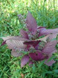 Susun Weed - September 30, 2014 - Weed Walk - Shiso- The purple leaves of shiso are loaded with anthocyanins. Capture the antioxidant power by making a vinegar of the leaves